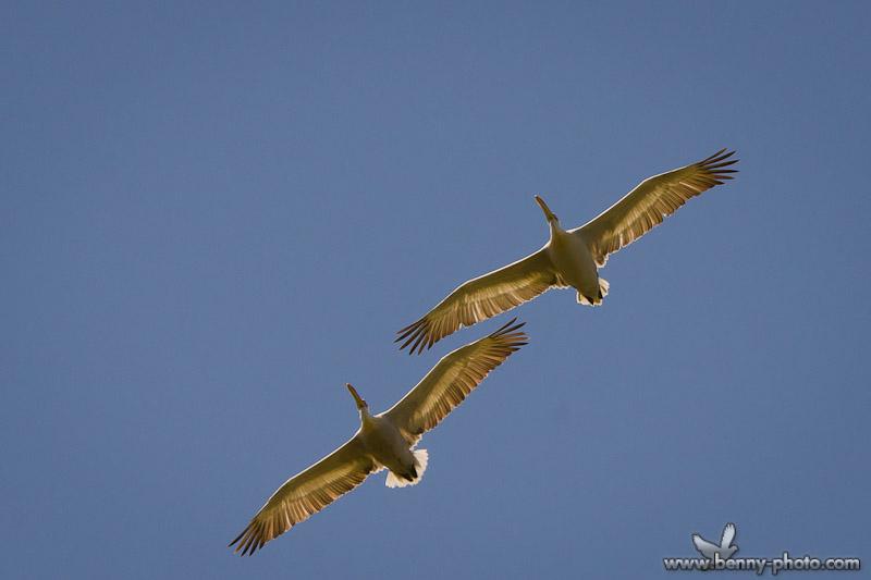 pelicanul cret 1