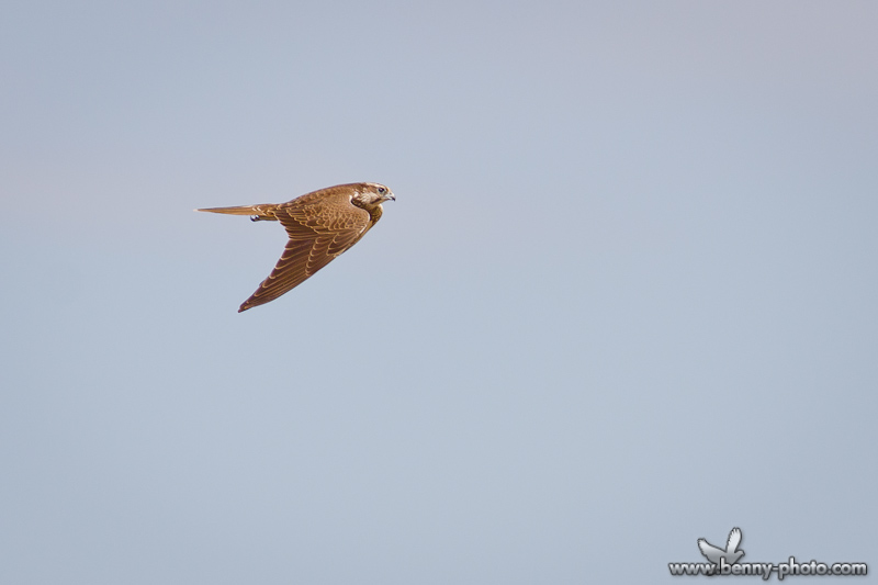 soimul dunarean falco cherrug 4
